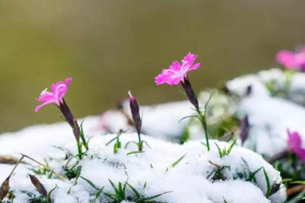 暖冬遇上倒春寒,花被大雪覆盖,咋办?