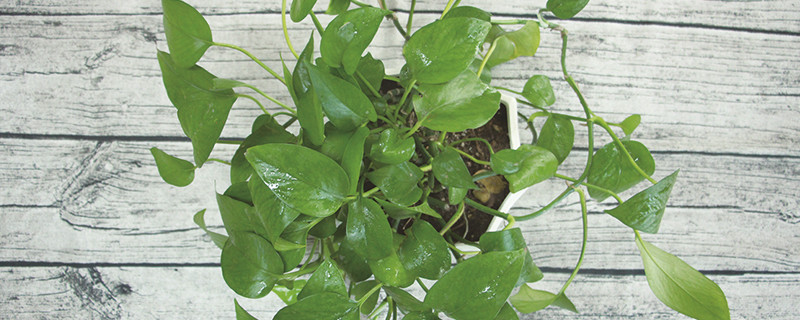 绿萝水养怎么样才能更旺盛