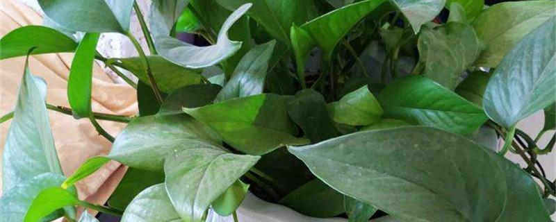 绿萝需要大花盆吗,用什么花盆好