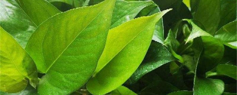 绿萝怎样生根快,绿萝水培快速生根方法介绍