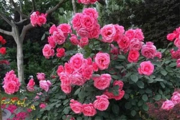 除了蟹爪兰,这花也能嫁接,开花的时候美爆了!