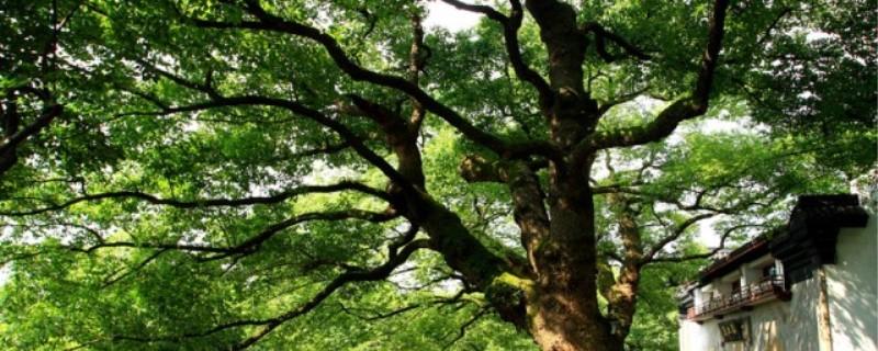 樟树是常绿树还是落叶树