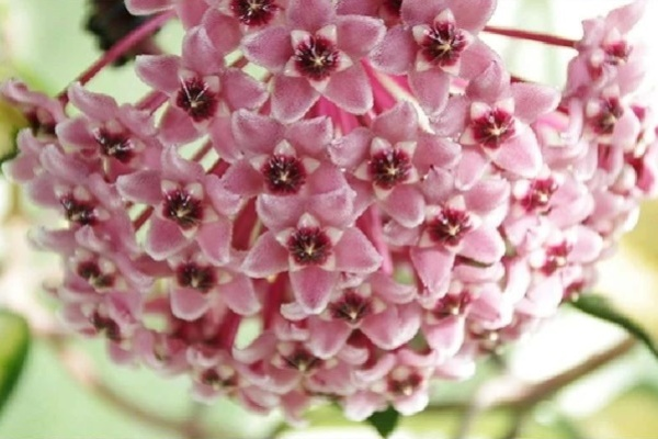 这花超耐阴,室内没光也能爬满墙,一开花满屋子香味!