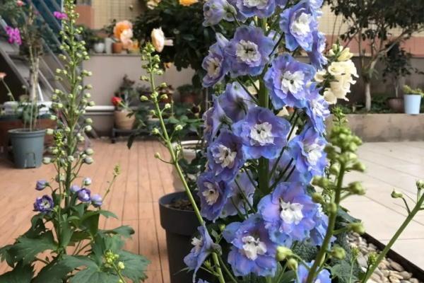 今年最火爆的花,1次开花1000朵,满盆挂满小灯笼!