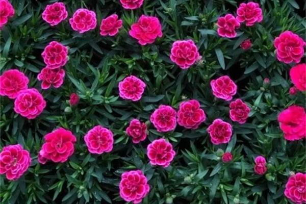 这花爆开50朵,剪几枝送人倍有面子,再也不用买花了!