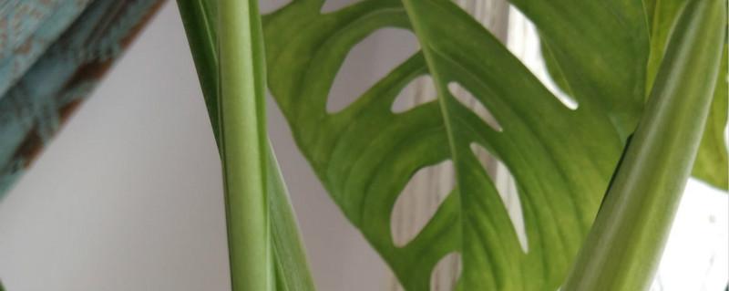仙洞龟背竹叶子发黄怎么回事,黄叶怎么办