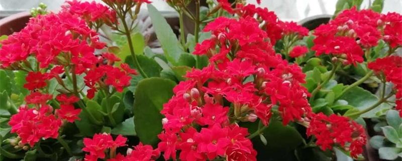 长寿花开花后怎么养护,开花期间怎么养