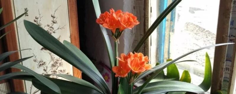 君子兰开花怎么养护,花败怎么处理