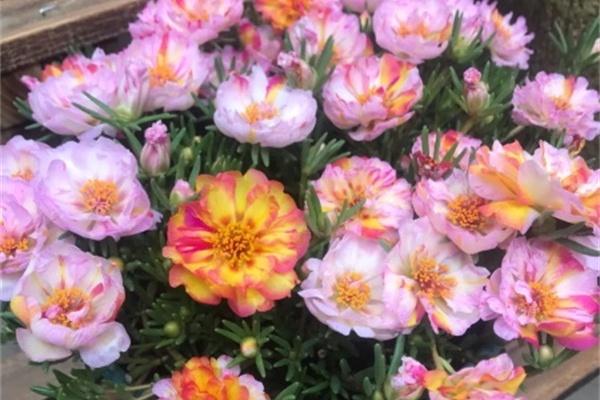 急性子就养这种花,俩月爆满整个家,多得像生物入侵!