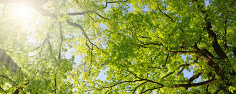 连理枝是什么树
