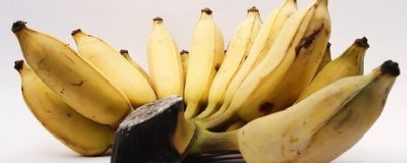 香蕉是草本还是木本