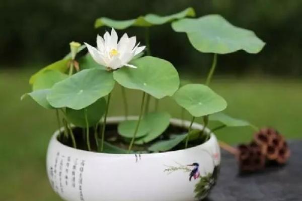 1个茶杯就能养,天热疯狂开花,香气飘满全家!