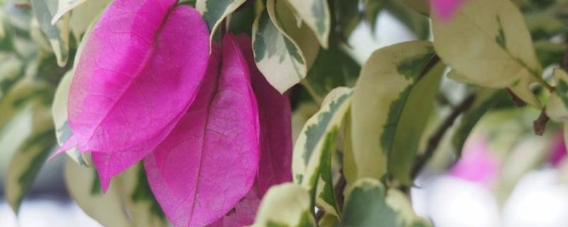 三角梅开花要施肥吗,开花期怎么养