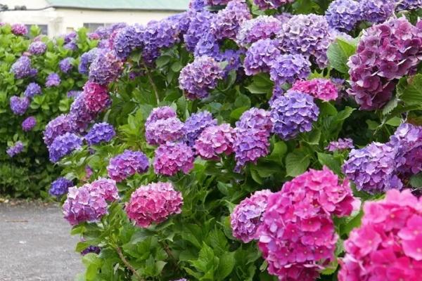 有院子的话,一定养这花,开花大又香!