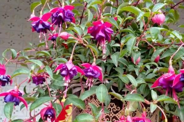 这6种花,一定要吊起来养,开花像瀑布,看着真过瘾!