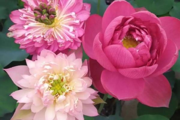 这花种在大缸里,越热越晒越开花,比脸盆还大!