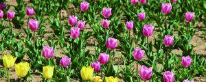 郁金香怎么栽培,种土里几天发芽