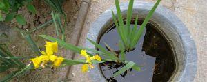 菖蒲用什么土种植最好,怎么栽种