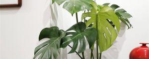 龟背竹的叶子耷拉下来了是什么原因,叶子耷拉怎么办