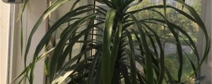 龙血树用什么土比较好,怎么栽种