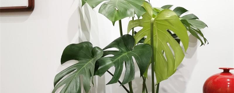 龟背竹冬天叶子发黄怎么回事,叶子发黄怎么办
