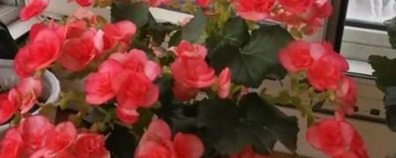 丽格海棠春天能扦插吗
