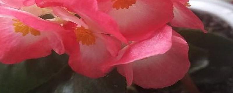 四季海棠开花时施什么肥