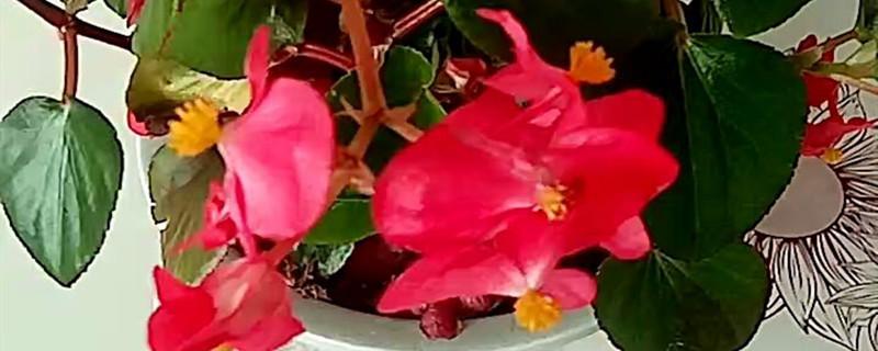 四季海棠开花时间