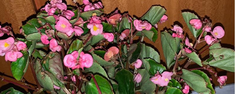 四季海棠怎么浇水