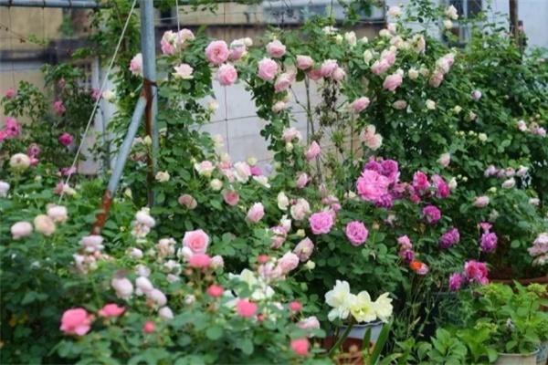 没有院子的人,在房顶养花,日子美如画!