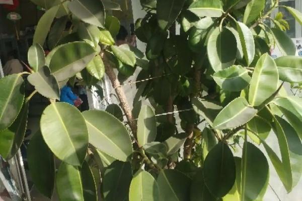 这3种树,每月砍1刀,立马疯狂冒新芽,戳屋顶不是事!