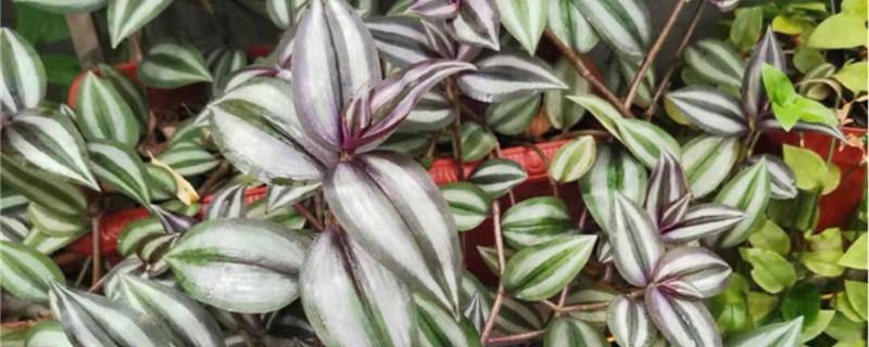 吊竹梅怎样养枝干粗壮,施什么肥会变紫