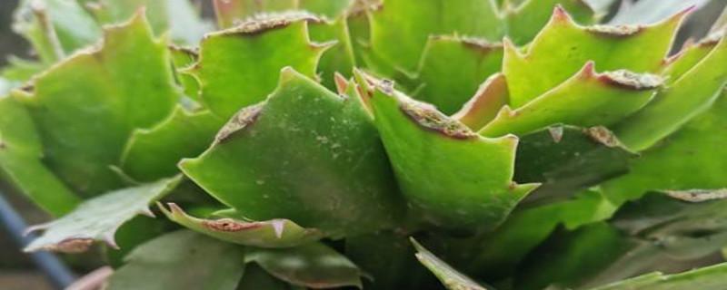 蟹爪兰缓苗需要多久,移栽后如何缓苗