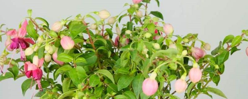 怎样养能使倒挂金钟多开花,花期是什么时候