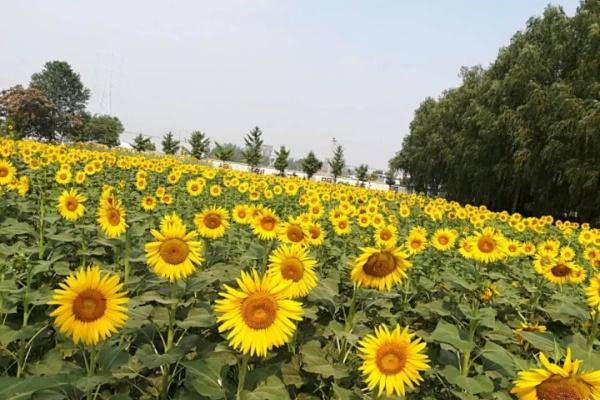 这花跟着太阳开,每次开花1000朵,养家里吉祥如意!