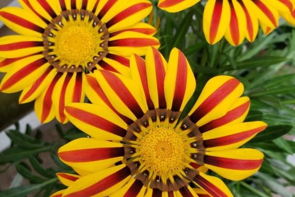 比月季还好看的花,小窗台养几盆,一茬一茬开不停!