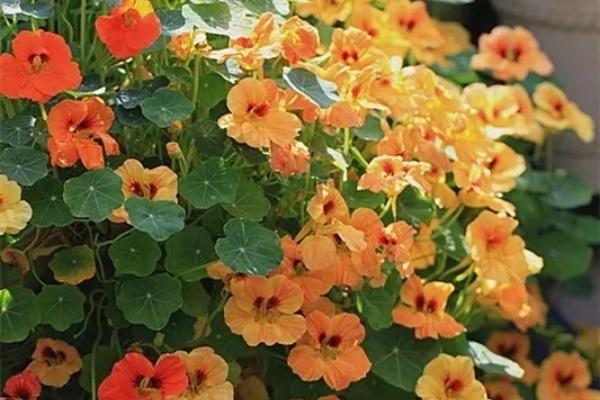 现在养这花,下月开花金灿灿,窗台都爬满!