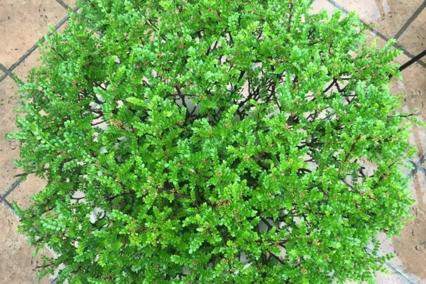 客厅养棵树,比茉莉还香,怎么闻都不腻!