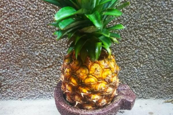 菠萝头芒果核···别扔了,扒皮种起来,真的能结果!