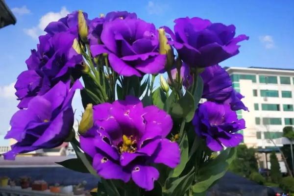 最耐晒的花就是它,天再热照样呼呼开,1盆能开3个月!
