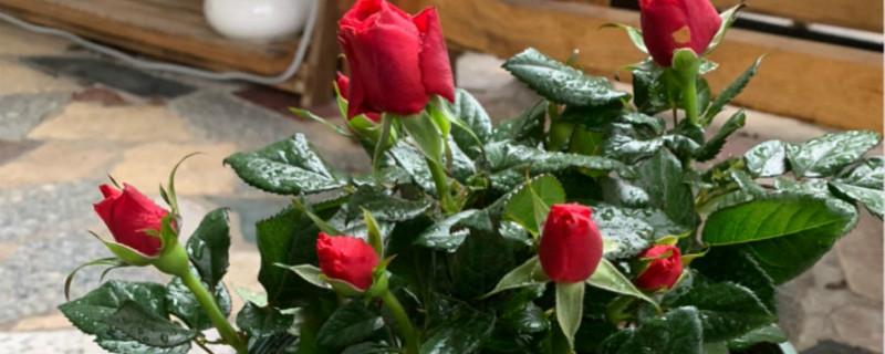 爱必达玫瑰盆栽怎么养,怎么换盆