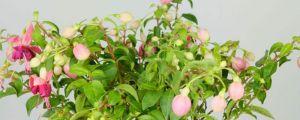 倒挂金钟春季养护方法,春季开花吗