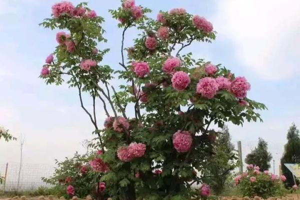 800多年的古树开花了,看到的都有好运气!