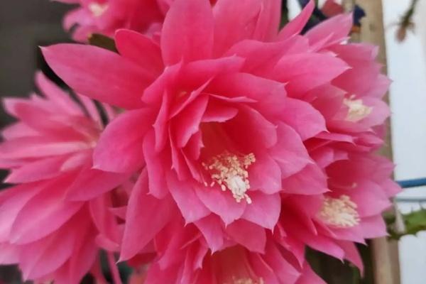 大爷家荷花种在花盆里,1次开花20朵,比巴掌还大!