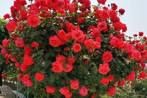门口养棵大花树,开花红艳艳,路过的人都羡慕!