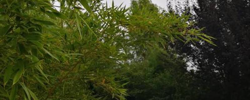 竹子太高了可以剪枝吗