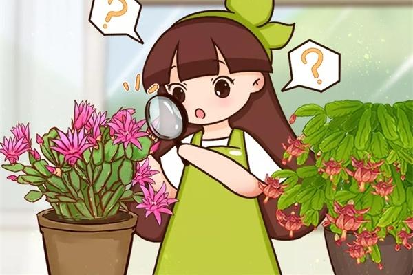 """这花不是""""真昙花"""",1次能开100朵,比蟹爪兰还美,怪不得都去抢""""假货""""!"""