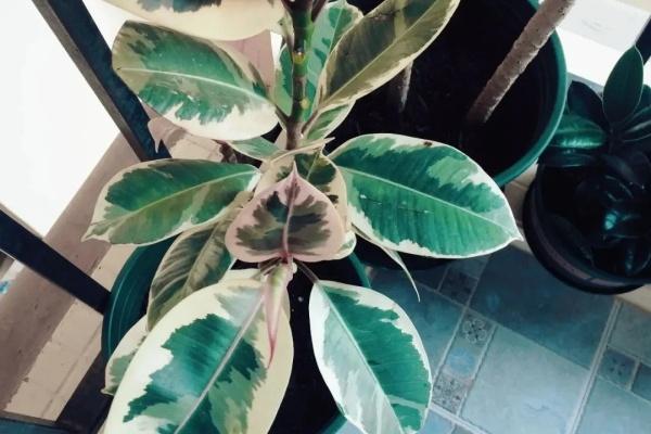 这花叶子带花纹,放阴凉地儿长得更旺,摆客厅能镇宅!