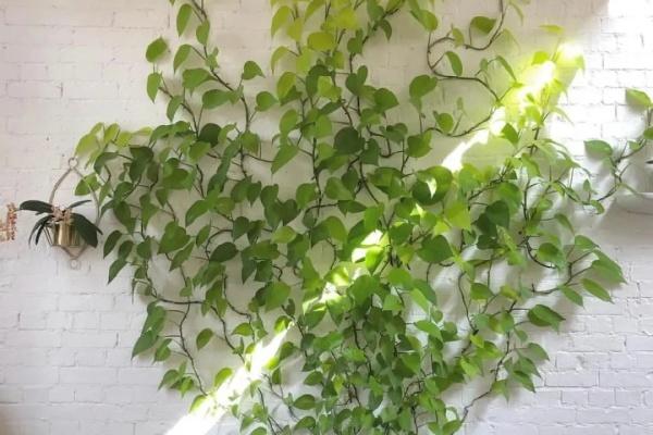 绿萝疯了,一盆竖着长,爬满沙发墙!