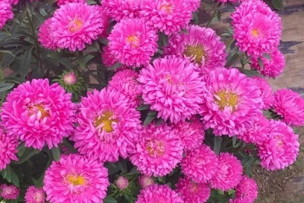 夏天最好养的花,一开花就成球,爆满整个小阳台